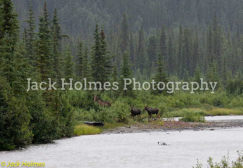 Cow Moose with calves - Denali Highway.