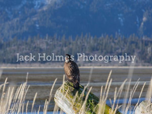Eagle Portrait - Kachemak Bay