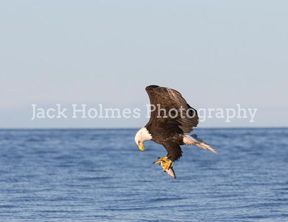 Eagles Fishing in Kachemak Bay