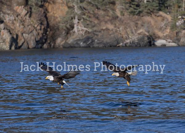 Eagles in Flight - Kachemak Bay