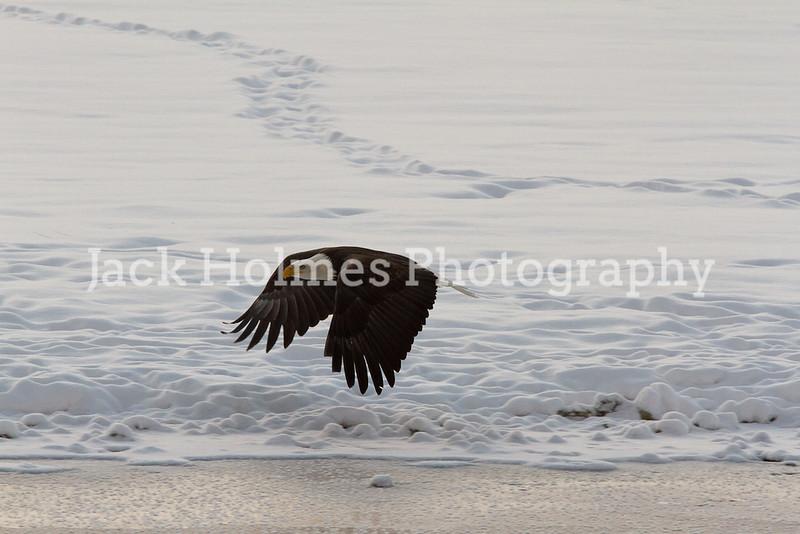 Tuesday_Eagle_7D-318