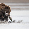 Coastal Brown Bear (Grizzly)