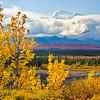 Alaska Aspens