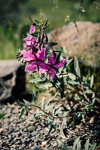 Tundra Fireweed