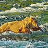 BearBellyFlop-AlaskaD700_2041_DxO