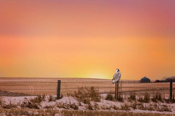 Sunset Owl - Cluny, Alberta