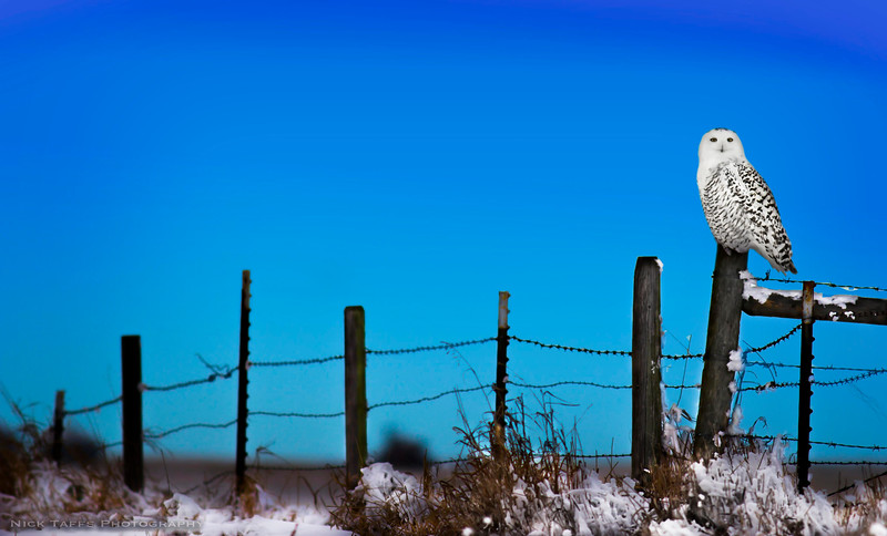 Fence Owl - Mossleigh, Alberta