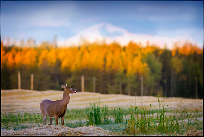 Meadow Deer - Water Valley, Alberta