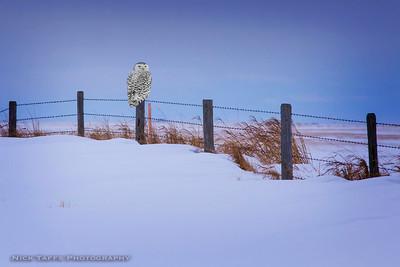 Snowy Hooter - Mossleigh, Alberta