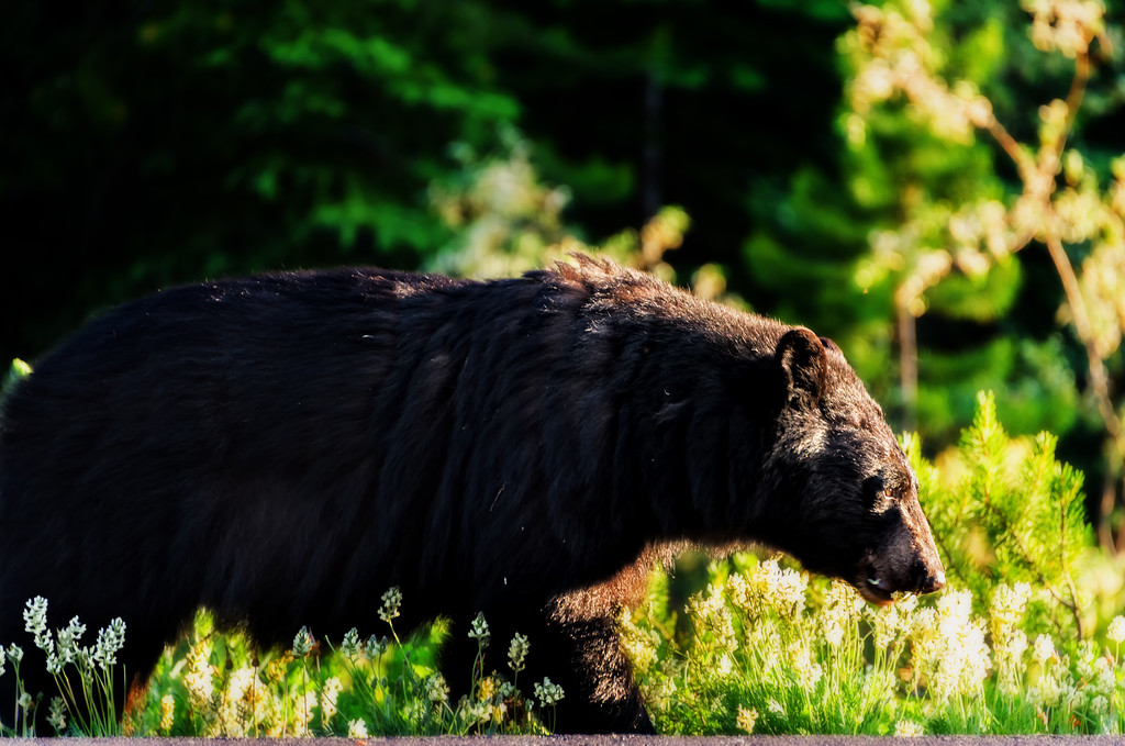 Bear Along the Icefields Parkway (Banff National Park)