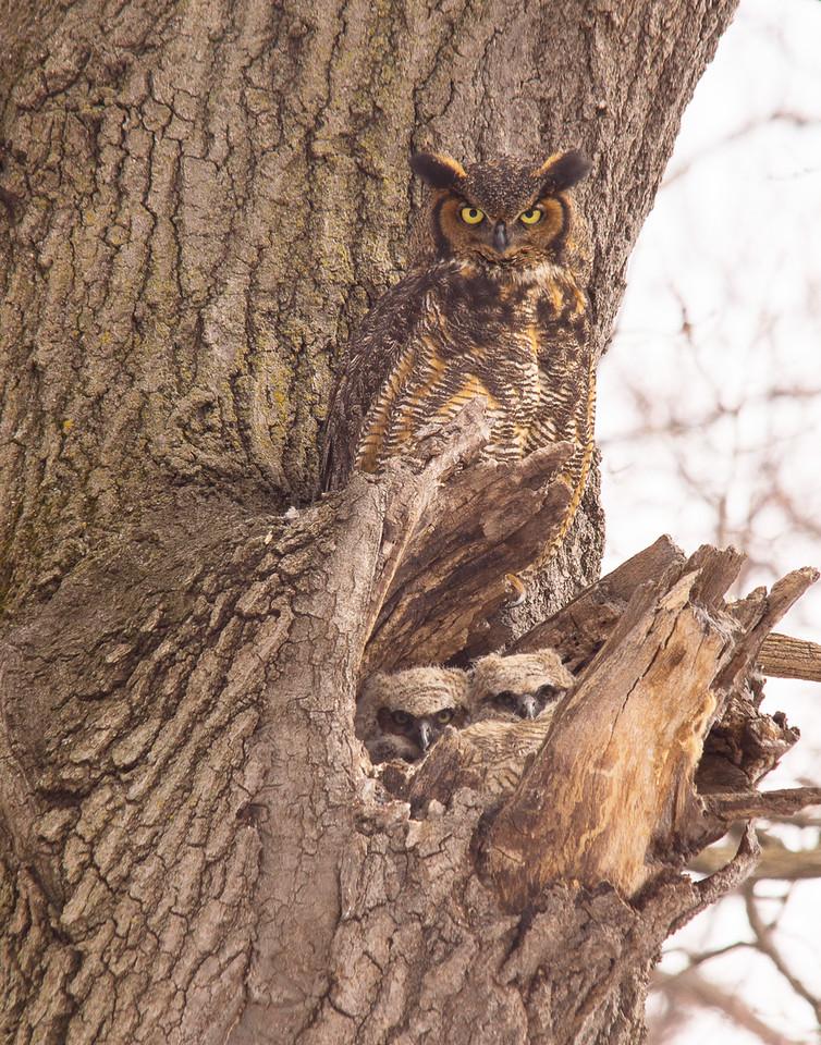 Great Horned Owl Family 004