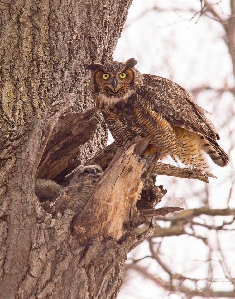 Great Horned Owl Family 002
