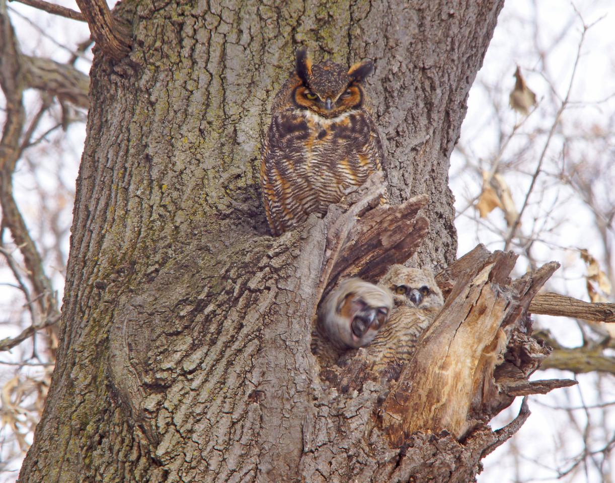 Great Horned Owl Family 006