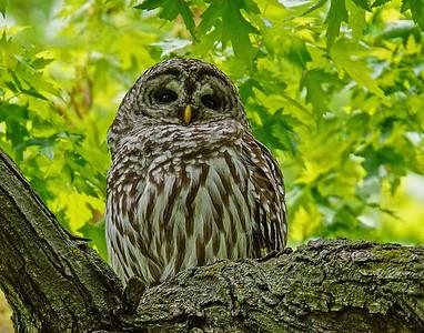 Barred Owl 003