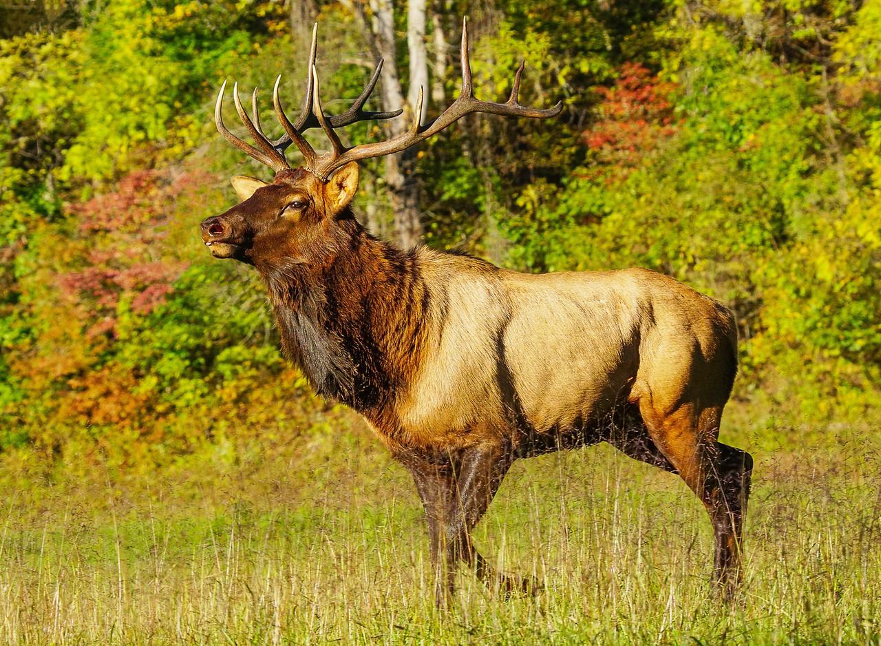 Great Smokey Mountain Elk 012