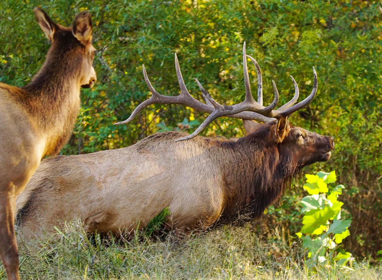 Great Smokey Mountain Elk 010