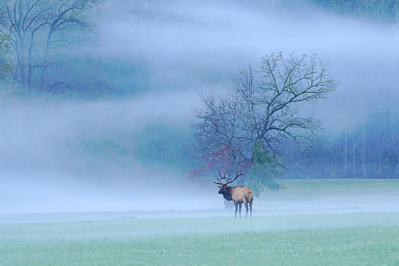 Great Smokey Mountain Elk 001