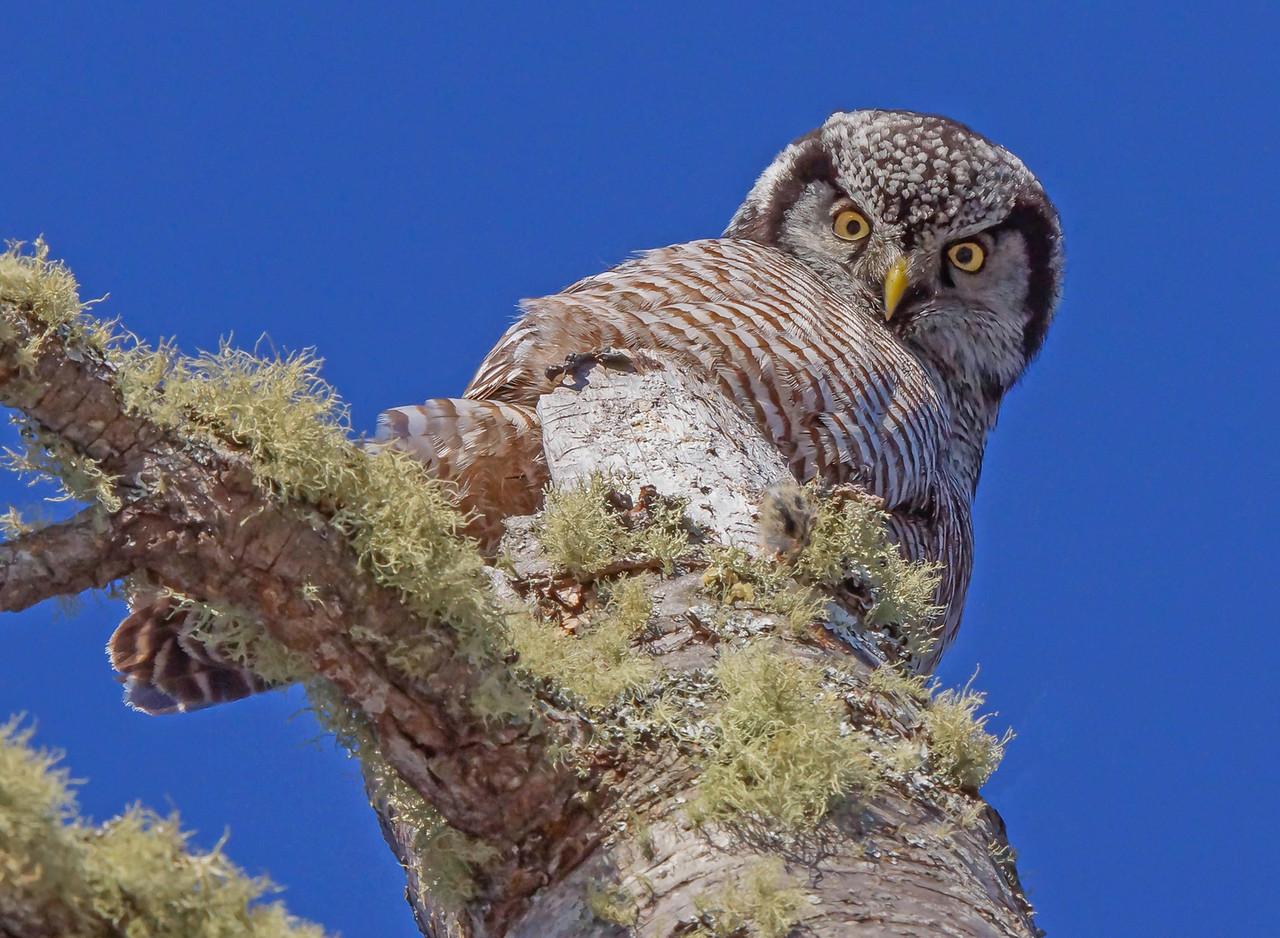 Northern Hawk Owl 12