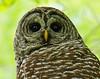 Barred Owl 005