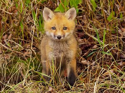 Fox Kits 008