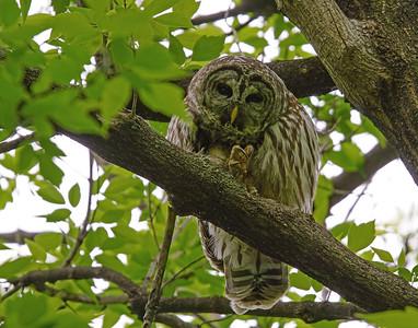 Barred Owl 004