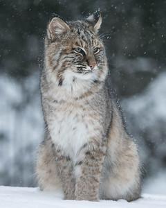 Bobcat 012
