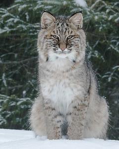 Bobcat 011