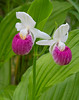 Pink & White Showy Lady's-Slipper 002