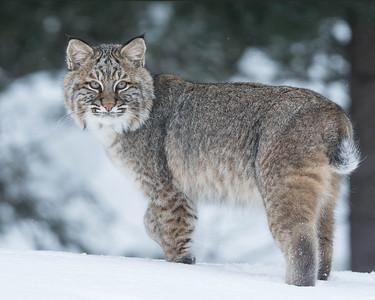 Bobcat 014
