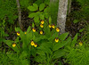 Small Yellow Lady's-slipper 001