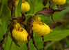 Small Yellow Lady's-slipper 002