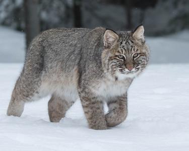 Bobcat 003