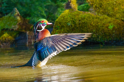Wood Duck 006