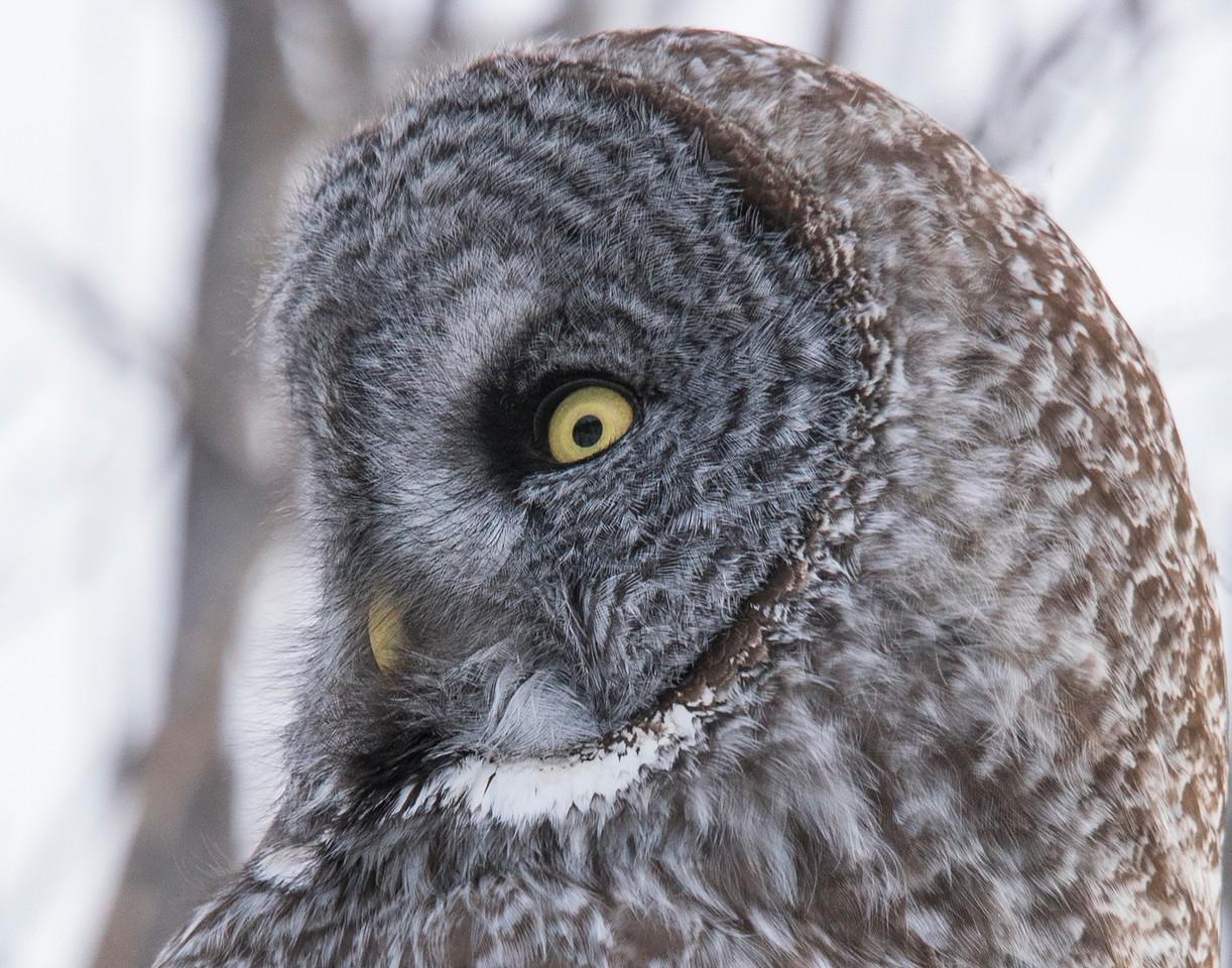 Great Gray Owl 004