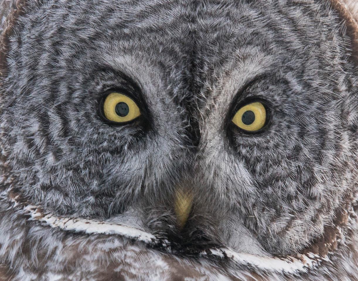 Great Gray Owl 001