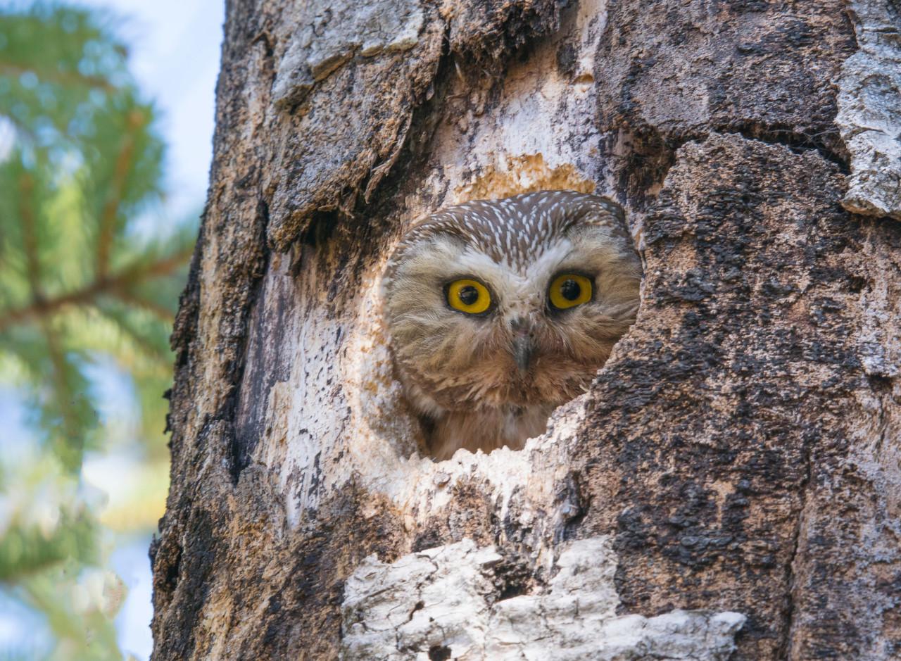 Saw-whet Owl 002