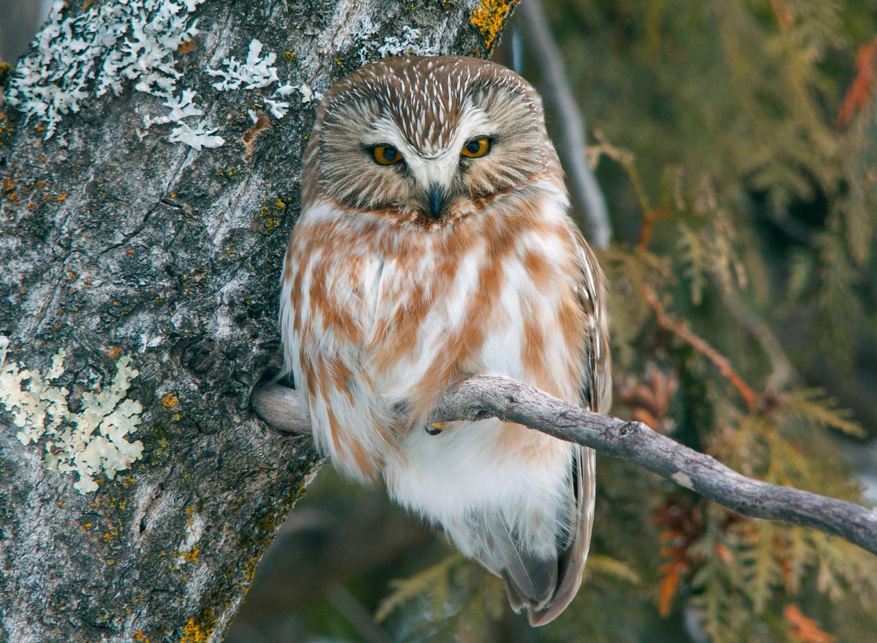 Saw-Whet Owl 006
