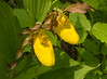 Yellow Lady's-Slipper