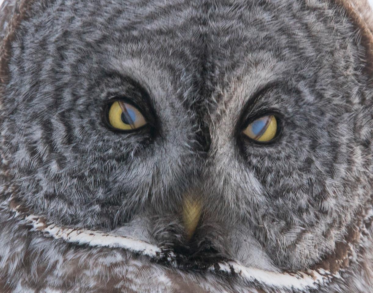 Great Gray Owl 002
