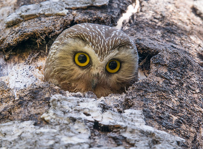 Saw-whet Owl 004