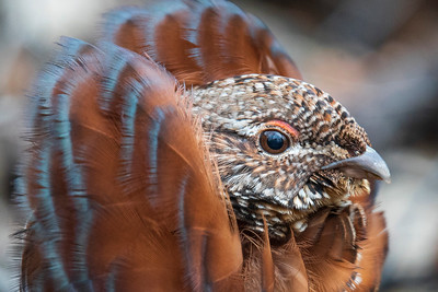 Cinnamon Ruffed Grouse 008