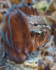 Cinnamon Ruffed Grouse 007