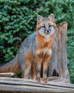 Gray Fox 03