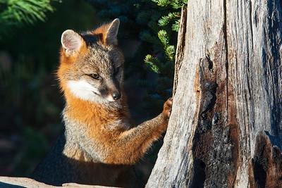 Gray Fox 01