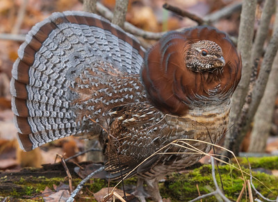 Cinnamon Ruffed Grouse 003