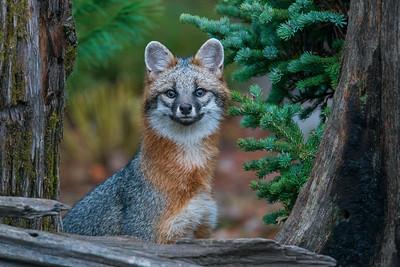 Gray Fox 02