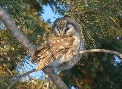 Boreal Owl 01