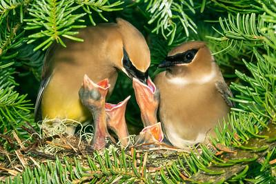 Cedar Waxwing Nest 4