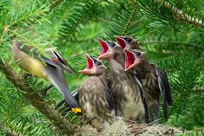 Cedar Waxwing Nest 10