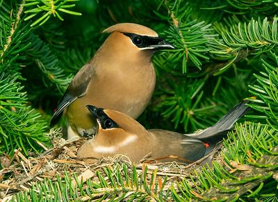 Cedar Waxwing Nest 1